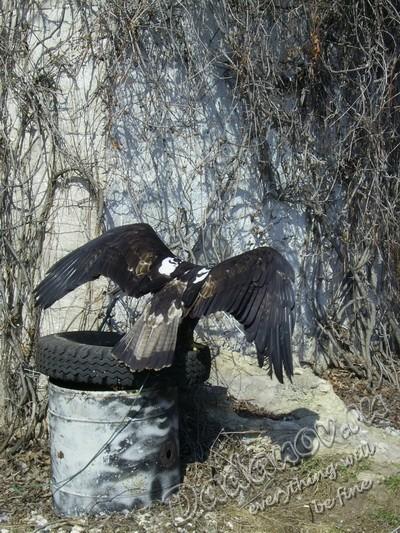Степной орел заповедник