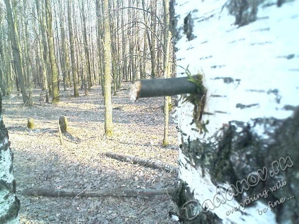 Деревянный клин в березе Галичья гора
