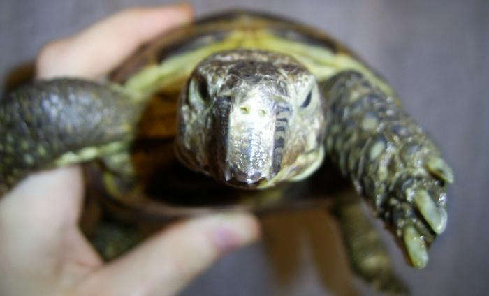 Клюв у черепахи
