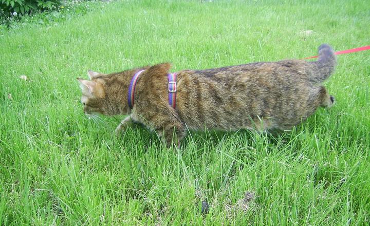Как одевать на кошку поводок шлейку