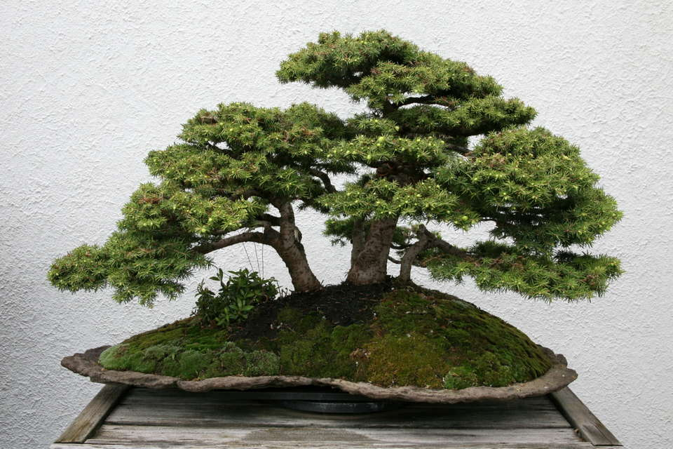 bonsai-luis-vila