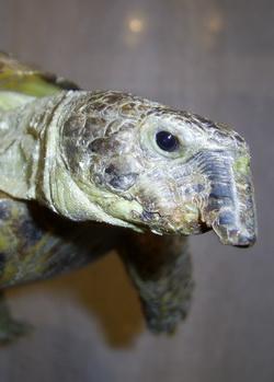 Клюв у черепахи. Самостоятельное удаление клюва