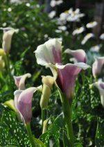Цветы калла посадка и уход в открытом грунте (фото)